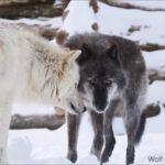 狼がこんなに個性あふれる生き物だって知ってた?ハイイロオオカミ3きょうだい