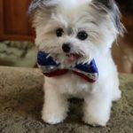 ボウタイの似合う犬