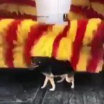 犬さん、洗車機の意外な利用方法を編み出す
